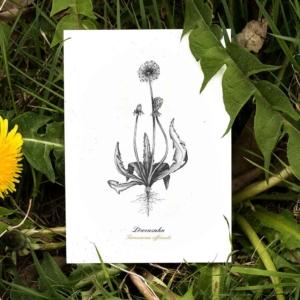 Kräuterpostkarte Löwenzahn – illustrierte Kräuterpostkarten