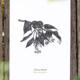 Kräuterpostkarte Sommerlinde – illustrierte Postkarte · Herbal Hunter